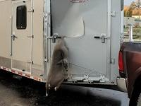Deer meets trailer